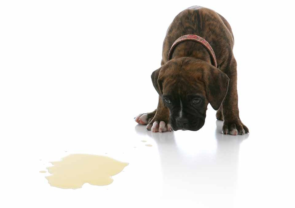 Dog Urine Odor and Stain Removal Guide